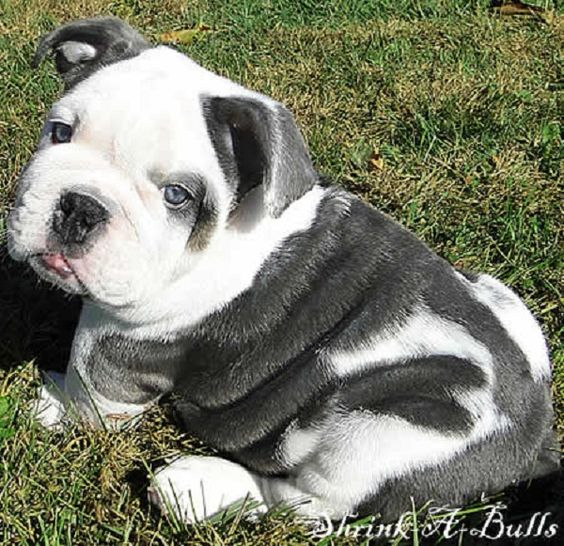 miniature old english #bulldog