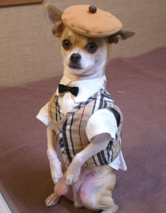 Montjiro, a dog fashion model. He models hand made clothing by his Japanese owner, Mon't.