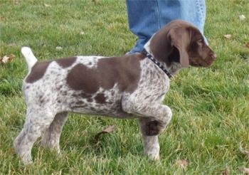 My German Shorthair Pointer, Raskol, our buddy for 13  him  pic reminds me of how he looked when I got him at 11  at that point!..so cute