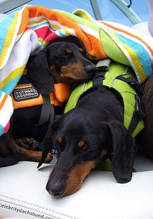 Nap Time with my Bro | by Crusoe the Celebrity Dachshund