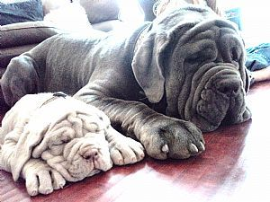 Neapolitan Mastiff Breeders and Neapolitan Mastiffs For Sale