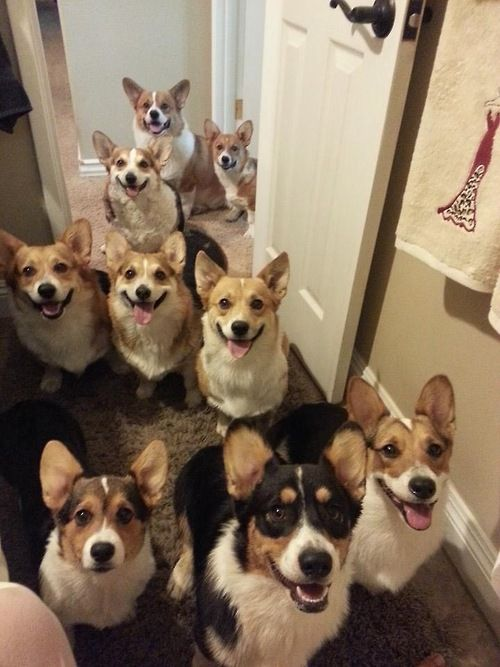 Ohhhh man. I can hardly contain myself. My life would be complete in a house with this many corgis.