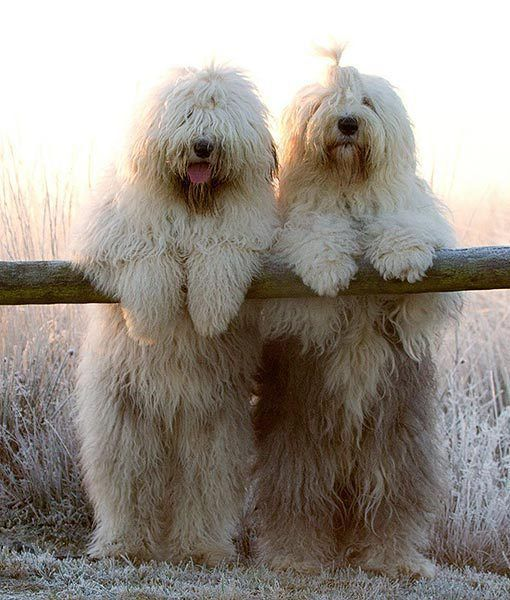 Old English Sheepdogs