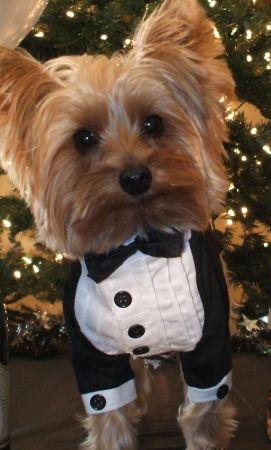 OMG I LOVE HIM!!! SO ADORABLE! #Yorkie #wedding #dog