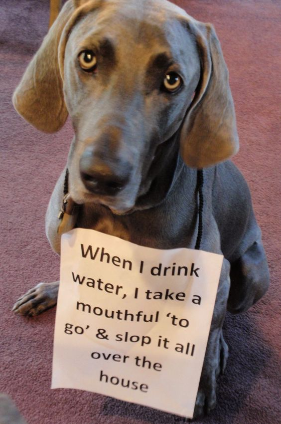 One of the many Weim traits! They are a handful, but you gotta love them!!!