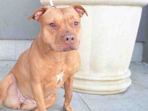 OPHELIA - #A1070615 - Urgent Brooklyn - **DOH HOLD-V 04/17/16** - SPAYED FMALE BROWN/WHITE AM PIT BULL TER MIX, 2 Yrs - STRAY - HOLD FOR DOH-V Intake 04/17/16 Due Out 04/20/16 - VERY NERVOUS, TAIL TUCKED, PANTING, SHAKING - BITE WOUNDS - CAME IN WITH LEO #A1070613 AND REMY #A1070614