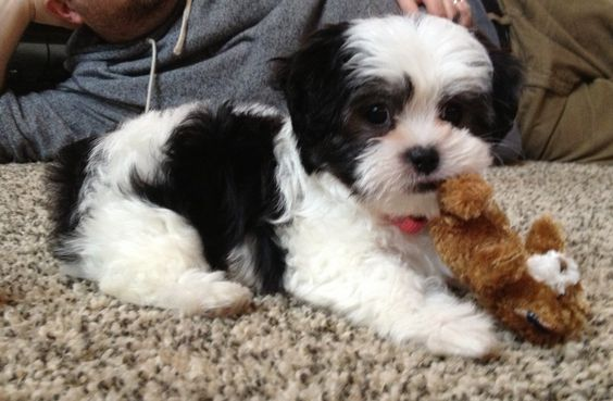 Our road to an eight week old Malshi (maltese shih tzu) puppy.