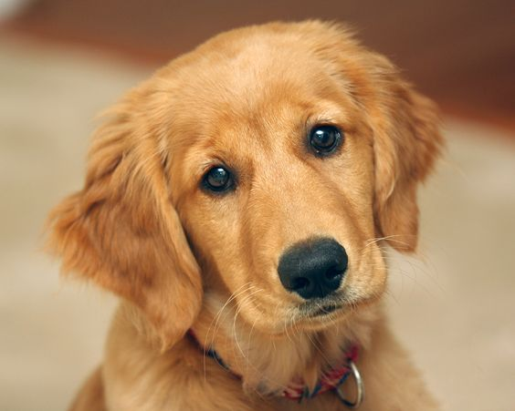 ozzy golden retriever