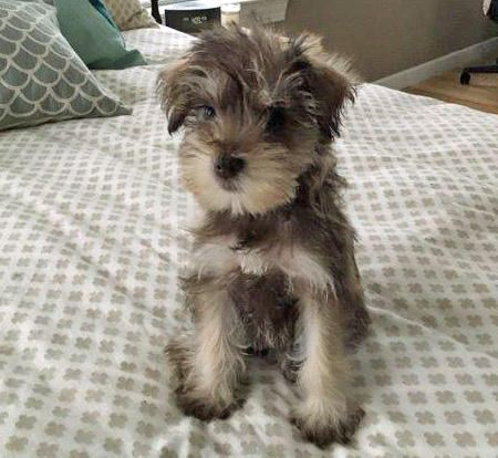 Penny the Miniature Schnauzer, Real or Stuffed?????