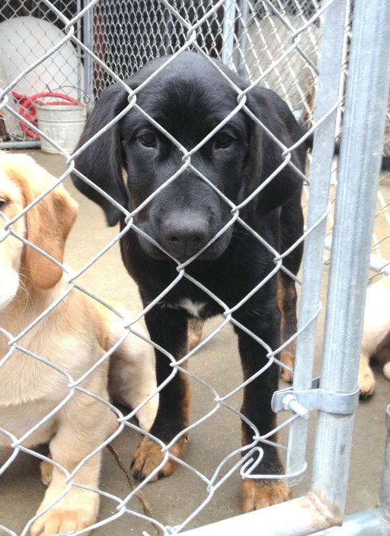 Petfinder  Adoptable | Dog | Black Labrador Retriever | West Monroe, LA | 274Green