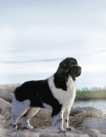 Photo by Winter-Churchill Landseer Newfoundland Dogs Puppy Hound Pups Dog Puppies Lanseer