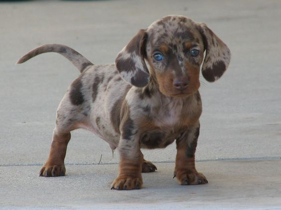 photos of daschunds | AKC Dapple Dachshund Puppies,Smith's Barkery's Miniature Dachshunds