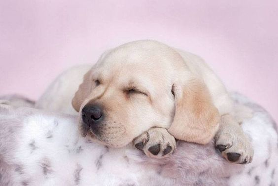 Pictures of Labrador Retriever puppies at their