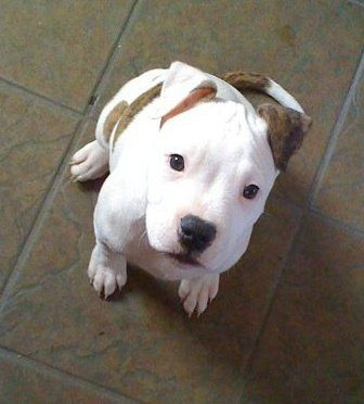 Pit Bull Puppy. Those eyes make my heart melt. So innocent and precious.