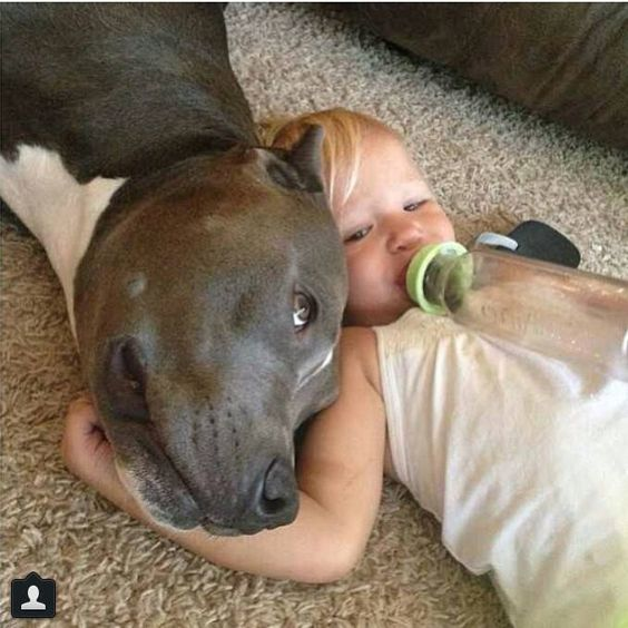 Pit Bulls are the best. Please adopt one and learn the truth.