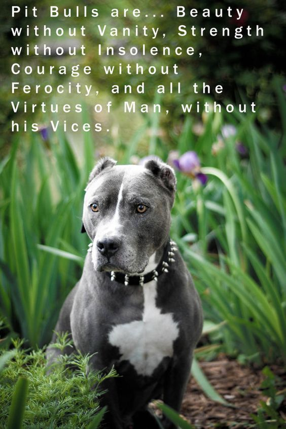 Pit  must be defended from bad press that was created by cruel people, using these dogs for financial gain. Please love a Pitty!