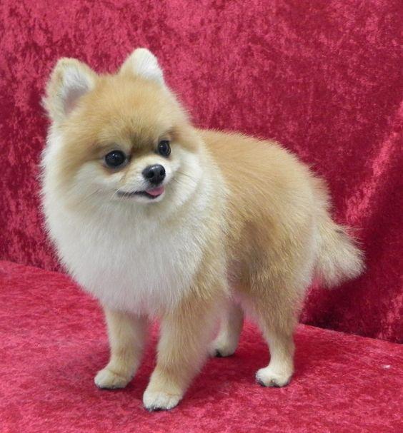 Pomeranian (first haircut) groomed by Caroline.