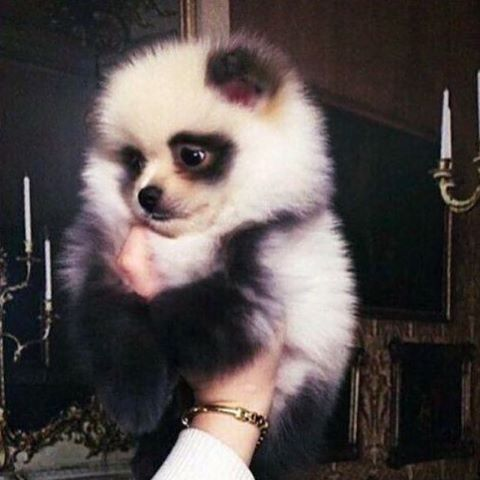 Pomeranian panda puppy ❤️❤️