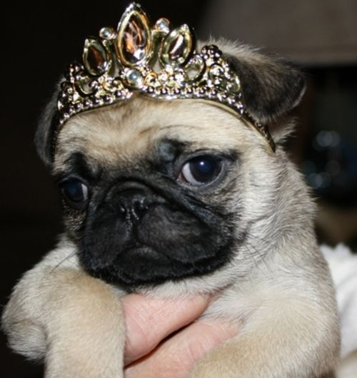 Princess pug puppy