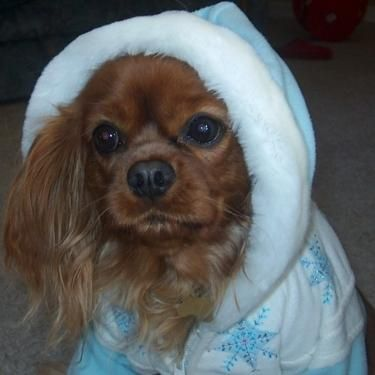 Promise, a ruby Cavalier King Charles Spaniel