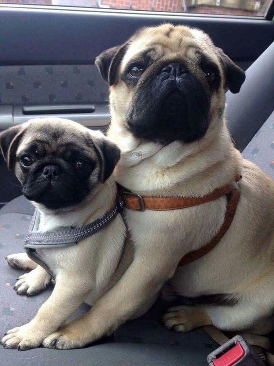 Pug mom and daughter