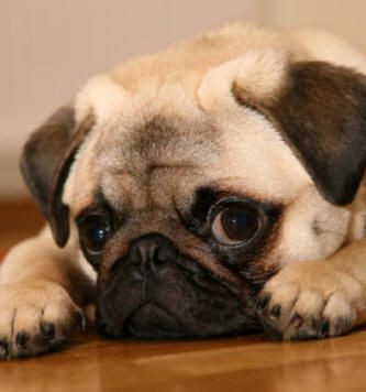 Pug Puppies Pictures