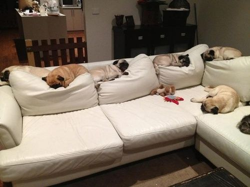 Pugs - the couch  true my Riley does this too!