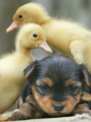 Puppy and Ducklings