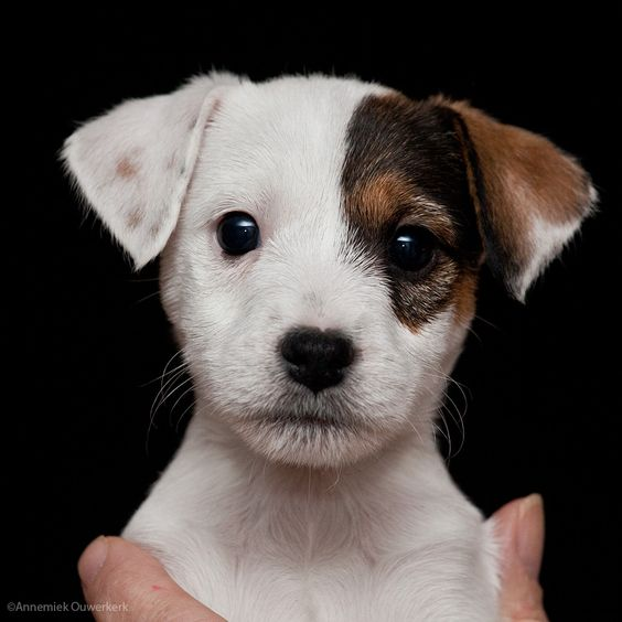 [ PUPPY LOVE ] #jackrussellterrier #jrt