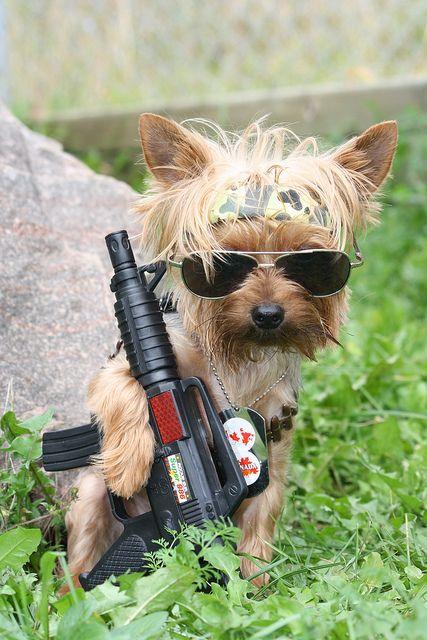 Rambo Yorkie