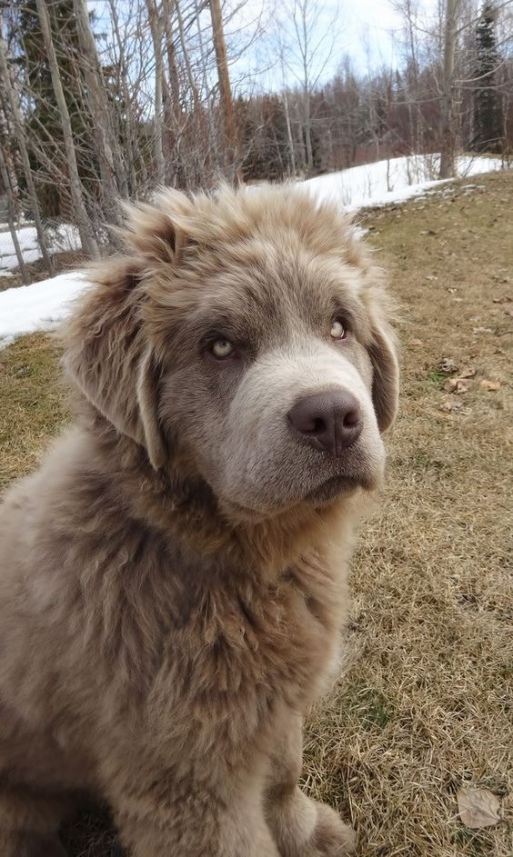 Rare grey coated Newfoundland dog