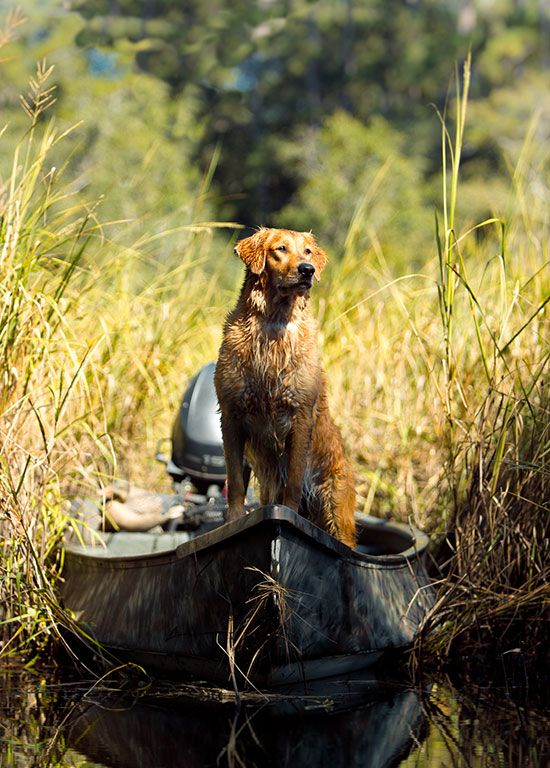 Ready at the helm. #Hunting #Waterfowl #Retriever