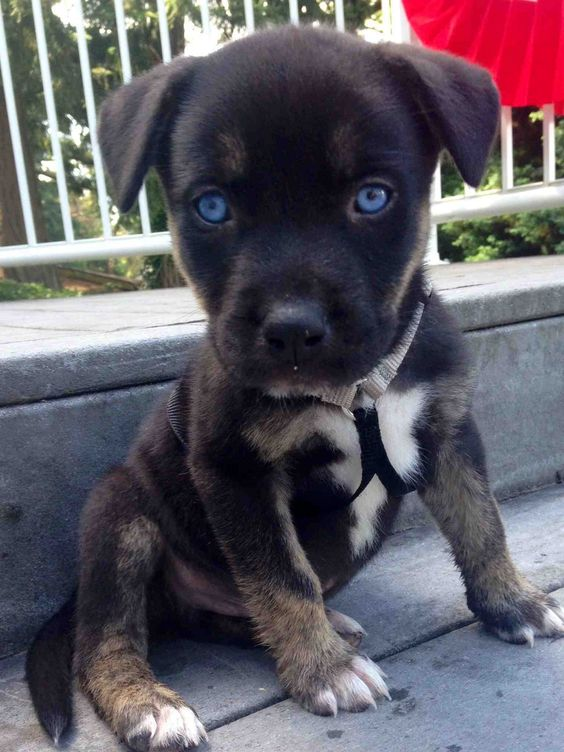 Ready for some serious squee? Archer is a baby pit–husky mix. Don't look in his eyes for too long — he might melt you with his little puppy face.