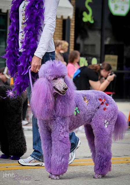 -Repinned- Purple poodle.