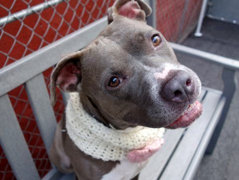 RETURNED 6/20/16 NO TIME - SUPER URGENT Manhattan Center - RTO SAFE ❤️ 4/11/16 Manhattan Center LADY LORAX – A1069566 **SAFER: AVERAGE HOME** FEMALE, BLUE / WHITE, AM PIT BULL TER / AMERICAN STAFF, 2 yrs OWNER SUR – EVALUATE, HOLD RELEASED Reason TOO ACTIVE Intake condition EXAM REQ Intake Date 04/07/2016, From NY 10037, DueOut Date 04/07/2016,