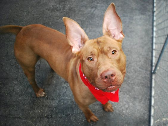 RETURNED 6/22 ATT PEOPLE!! !!! SAFE 6/8/16 Manhattan Center GAVIN – A1075825 ***SAFER: AVERAGE HOME*** MALE, BROWN, PIT BULL MIX, 2 yrs STRAY – EVALUATE, NO HOLD Reason STRAY Intake condition UNSPECIFIE Intake Date 06/01/2016, From NY 10451, DueOut Date 06/04/2016