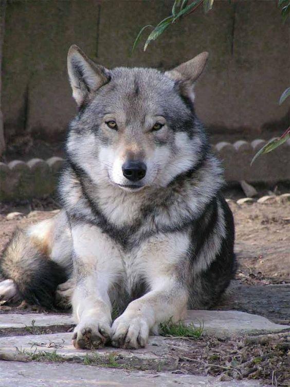 Saarloos Wolfhound - cross between a Eurasian Wolf and a German Shepherd. Gorgeous.