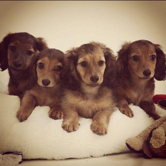 Salatino's babies    #dog #salatino #clubesalatino #canil #perro #dogs #cute #love #nature #animales #cute #filhote #dachshund #teckel #golden #dachshundlonghair #dach #teckelpelolongo #filhote