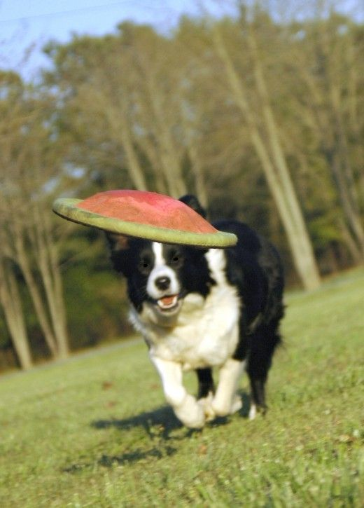 Selecting and Training a Border Collie Puppy
