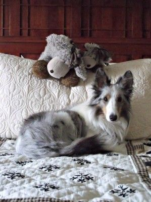 Shetland Sheepdog-blue Merle's are so pretty