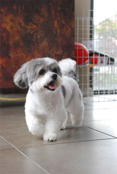 Shih Tzu Grooming Style Photos The Bichon Frise Dog Shih Tzu