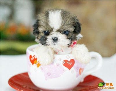 Shih Tzu. :) Puppy Dog Photography Puppies Doggie Pup #DogsInTeaCups #DogsInCups