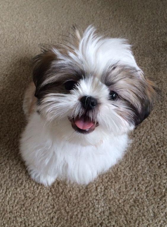 Shih Tzu puppy,