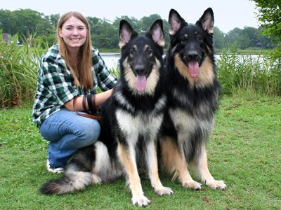 Shiloh Shepherds, bigger than German Shepherds