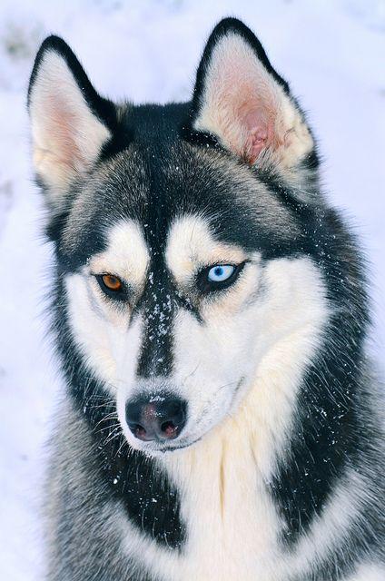 Siberian Husky Portrait by aveh587 on Flickr.