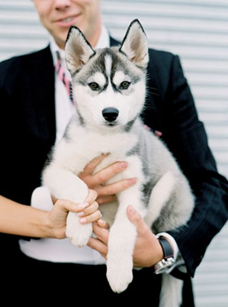 Siberian Husky Puppy ~ A DUPLICATE PIN BUT CAN'T RESIST, THIS PUP'S FACIAL MARKINGS ARE OUTSTANDING ~