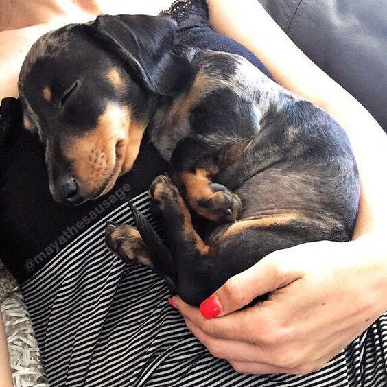Silver dapple miniature dachshund