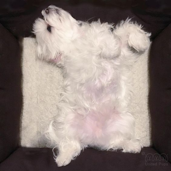 Since the first day I came to our family, I slept in this pose! I am almost 6 years old  I can still be myself ✌️ #sleepy #bemyself #sleepingbeauty #arodwang #maltese #puppylove #dogsofinstagram #doglover #whitedog #fluffy #boy #popsugarpets #love #puppy #raisblack #bestofpack #cute #말티즈 #マルチーズ #dog #dogmodel #犬 #狗