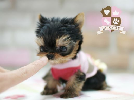 Six adorable Tea-cup sized puppies | Blog | GirlyBubble