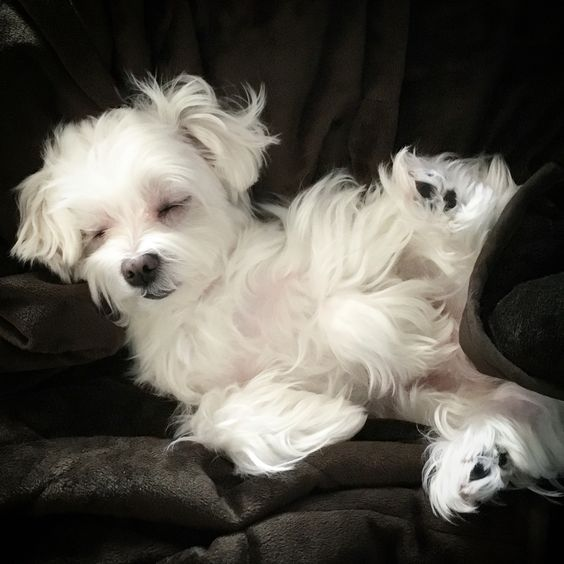 #sleepingangel #sleep #puppylove #arodwang #maltese